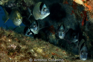 Sarpa sarpa &amp; Diplodus vulgaris gathering in a cave by Antonio Colacino 